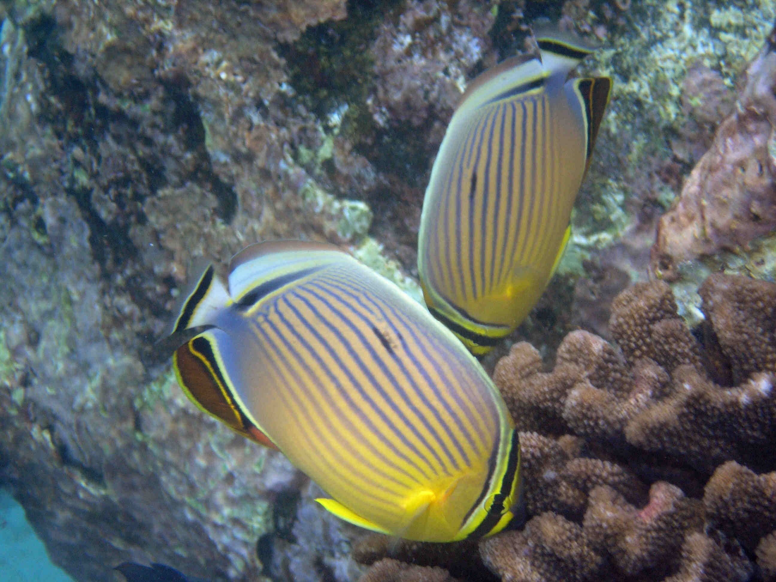 Oval butterflyfish - photo#21