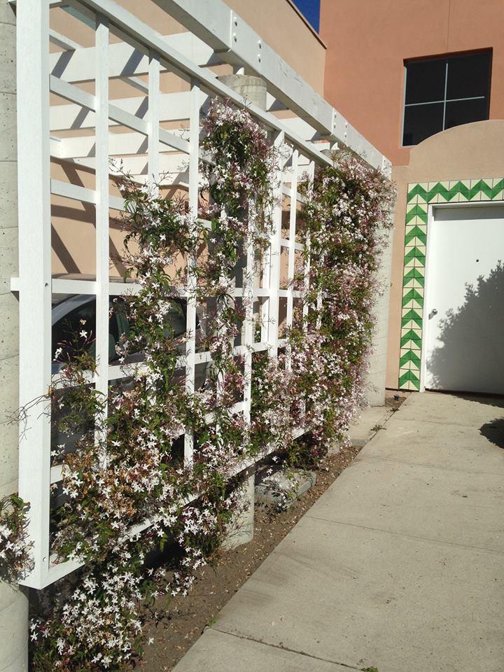 Jasmines in full bloom on my carport 39 s trellis for Trellis carport
