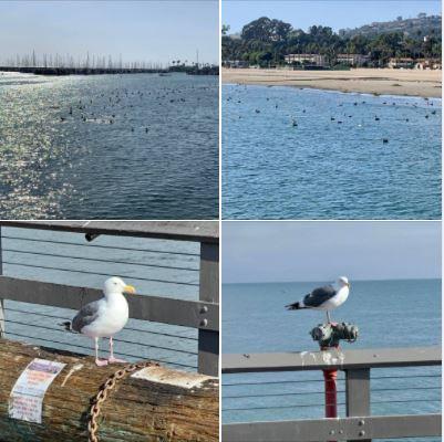Photos of birds on a about Santa Barbara's Stearns Wharf: Batch 1