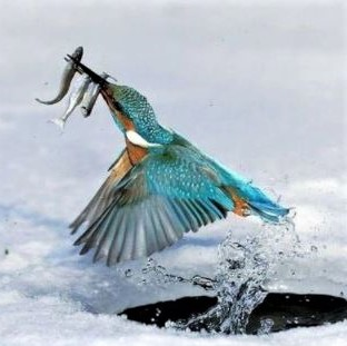 The kingfisher emerging from the hole in the ice with its catch