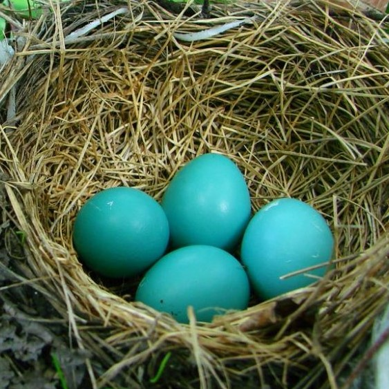 The blue-green color of robin eggs provides just the right amount of light absorption for optimal temperature