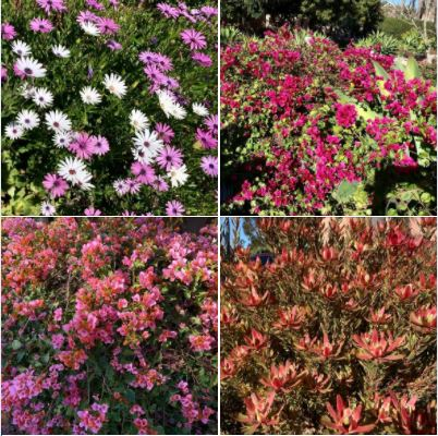 Colorful flowers, shot during my long walk in Goleta yesterday