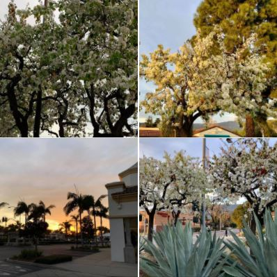 Spring is already in the air: Wednesday, February 3, afternoon in Goleta's Camino Real Commercial Center
