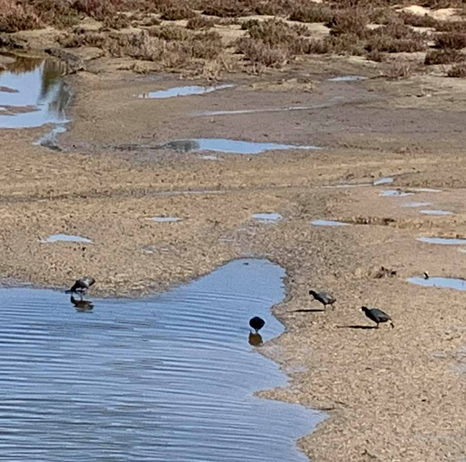 The birds of UCSB's North Campus Open Space, photographed early this afternoon: Photo 2
