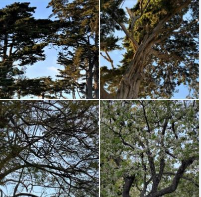 Trees I photographed during my long afternoon walk in Isla Vista and UCSB West Campus: Batch 2
