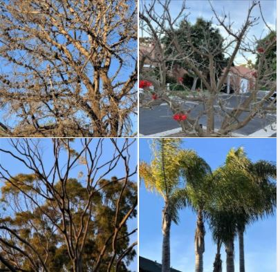 Trees I photographed during my long afternoon walk in Isla Vista and UCSB West Campus: Batch 3