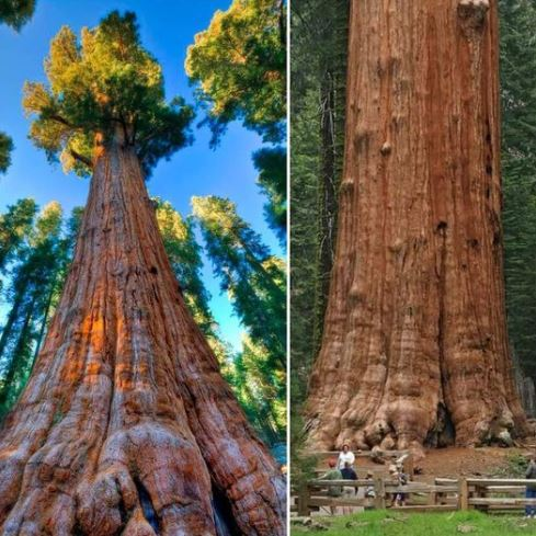 The world's largest tree in terms of volume: General Sherman Tree, located in Giant Forest of California's Sequoia National Park