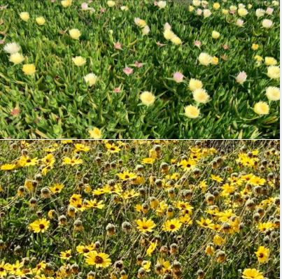 Photos I took during my afternoon walk atop the bluffs at UCSB's West Campus Beach: Wildflowers