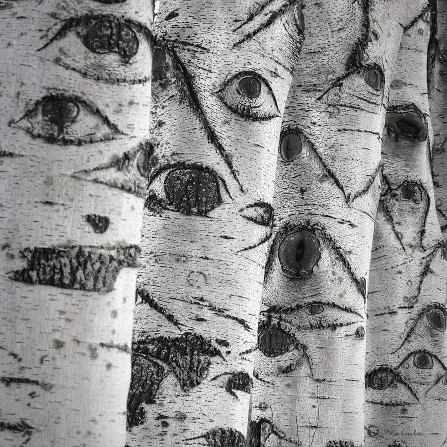 Nature's art: The 'eyes,' known as lenticels, allow gas exchange between the tree and the atmosphere