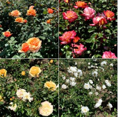 The Rose Garden at Santa Barbara Mission: Batch 2 of photos