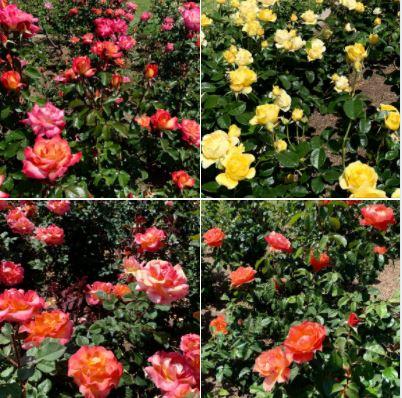 The Rose Garden at Santa Barbara Mission: Batch 3 of photos