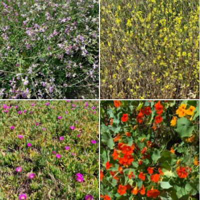 Wildflowers photographed on the Ellwood Bluffs and Ellwood Butterfly Grove