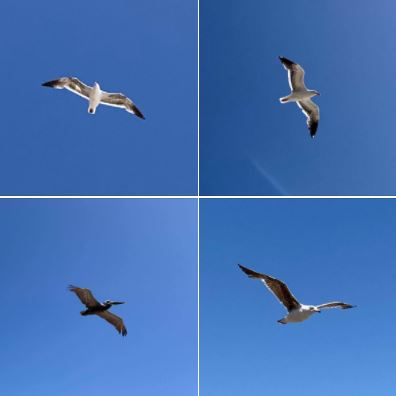 Photographing seabirds as they flew overhead during my afternoon stroll on Wednesday, May 26