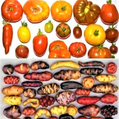 Colors of nature: Tomato varieties from around the world and potato varieties that grow in Peru